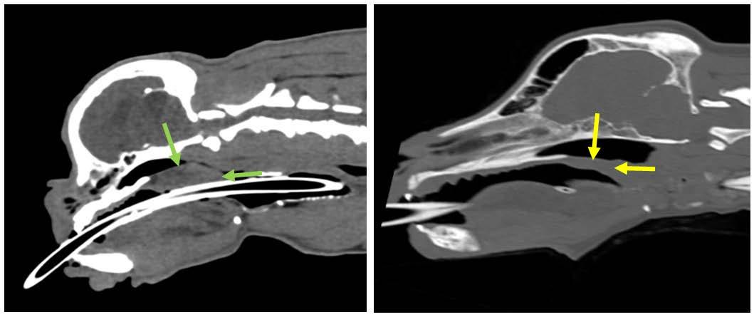 image en coupe sagittale du crâne d'un chien brachycéphale